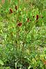 53.Sanguisorba officinalis 2005.7.3#31 The Red Burnett. McCallum Creek, Richardson Highway, Eastern Alaska range, Alaska.