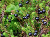 68.Empetrum nigrum 2015.7.21#058. Crowberry. Turnagain Pass, Kenai Peninsula Alaska.