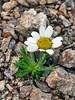 89.Chrysanthemum integrifolium 2014.7.9#273. The Arctic Daisy or Entire leaf Chrysanthemum. Mount Healy's northeast side, Alaska Range, Alaska.