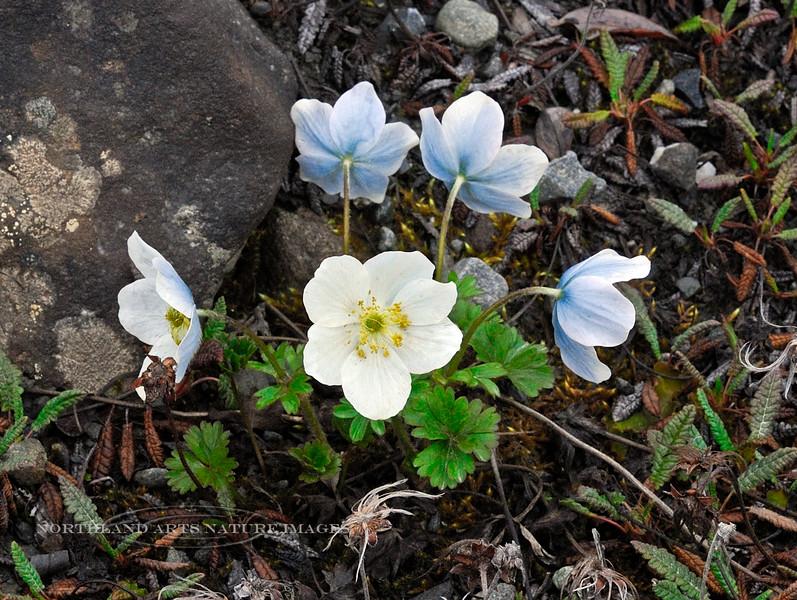 46.Anemone drummondii 2009.6.9#058. The Drummond's or Blue Anemone. Phillip Smith Mountains, Brook's Range, Alaska.