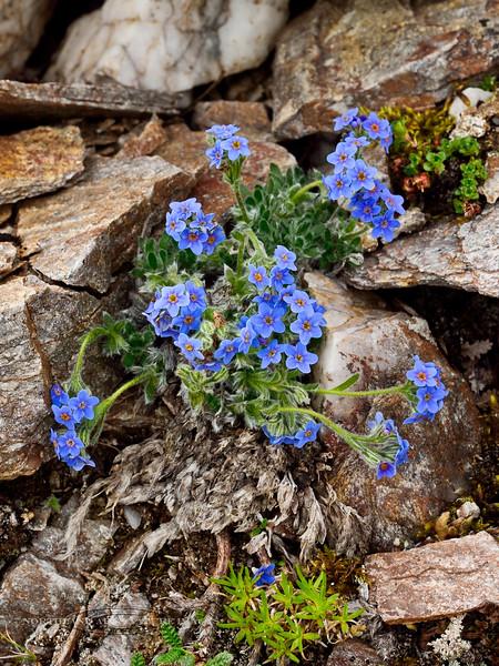 77.Eritrichium aretioides 2014.7.9#251. The Mountain forget-me-not. Mount Healy's north east side, Alaska Range, Alaska.