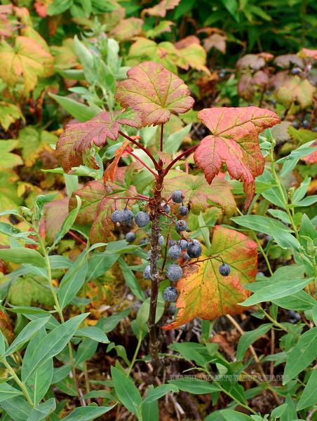 52.Ribes hudsonianum 2015.7.21#122. The Black Current. Portage Glacier, Alaska.