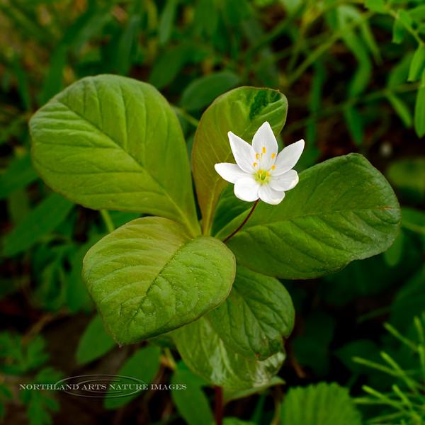 71.Trientalis europea ssp arctica 2016.5.18#514. The Star Flower. Annchorage Alaska.