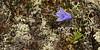88.Campanula lasiocarpa 2013.7.16#169. The Mountain Harebell.  Thompson Pass Chugach mountains, Alaska.