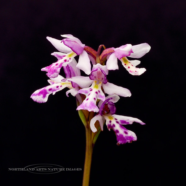 32.Amerorchis rotundifolia 2014.7.6#255. Round Leaf Fly Specked Orchid. Near Glennallen, Alaska.