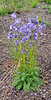 75.Polemonium acutiflorum 2016.6.12#035. Tall Larkspur. Mile five, Denali Park Alaska.