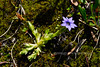 73.Gentiana prostrate 2009.7.1#085. The Moss Gentian. Teklanika Campground, Denali Park Alaska.