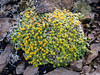 52.Saxifraga Eschscholtzii 2014.6.29#348. N.E. side Mount Healy, Alaska Range, Alaska.