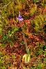 82.Pinguicula villosa 2010.6.18#137. Called Bog Violet, though not a violet. Windy Pass,Parks highway,  Alaska Range, Alaska.