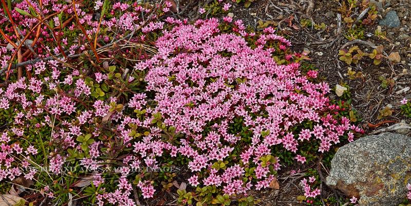 69.Loiseleurea procumbens 2014.6.6#111. The Alpine Azalea. Denali highway east of Canyon Creek, Alaska.