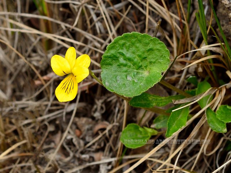 60.Viola biflora 2014.6.5#032. The Small Yellow Violet. east side Savage Canyon, Denali Park Alaska.