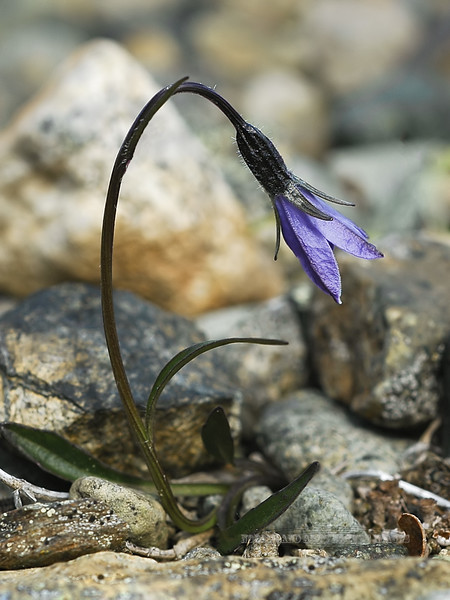 88.Campanula uniflora 2005.6.13#0021. Common name is One flowered Harebell. Mount Healy's northeast side,  Alaska Range, Alaska.