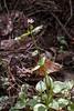 42.Claytonia montia sibirica 2000.6.4#37. The Miner's Lettuce. Nash Road, Seward, Alaska.