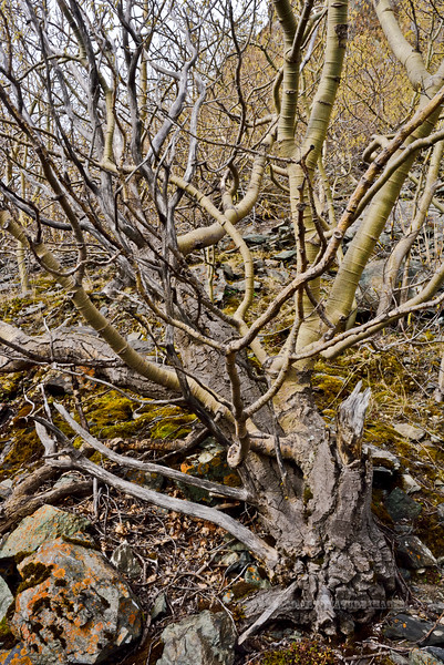 33.Populus tremuloides 2016.4.13#047. A grossly misshapen Quaking Aspen living on an exposed site with strong persistent winds. A classic Krummholz tree. Rainbow trail, above Windy Point, Turnagain Arm, Alaska.