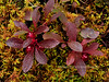 Arctostaphylos rubra. Red Bearberry on Sphagnum moss. Alaska Range, Alaska. #816.072. 3x4 ratio format.