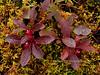 69.Arctostaphylos rubra, the Red Bearberry on Sphagnum moss. Alaska Range, Alaska. #816.072. 3x4 ratio format.