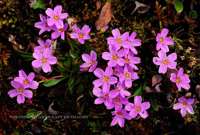42.Claytonia scammaniana 2012.6.30#0036. Scammon's Spring Beauty. Primrose Ridge, Outer Range Denali Park Alaska.