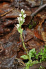 32.Goodyra repens 2006.8.10#0041. The Dwarf Rattlesnake Plantain. Kincaid Park, Anchorage Alaska.