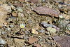 30.Lloydia serotina 2016.5.29#414., The Alp Lilly. Polychrome Pass, Denali Parl Alaska.