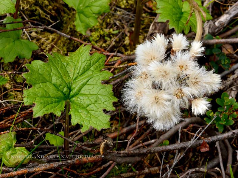 89.Petasites hyperboreus 2014.6.28#007. Northern Coltsfoot. Bog north of Cantwell, Alaska Range, Alaska.