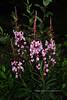 62.Epilobium angustifolium 2011.7.14#091. Fireweed, a pink form. Mile five, Denali Park Alaska.