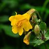 80.Mimulus guttatus 2010.6.29#145. The Yellow Monkey Flower. Near Mary Carey's in Denali State Park, Parks highway, Alaska.
