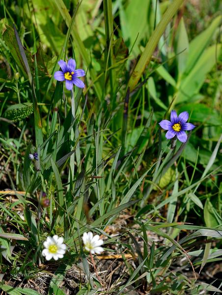 31.Sisyrinchium montanum 2014.6.20#021. Blue-eyed Grass. Turnagain Arm, Alaska.