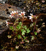 Saxifraga rivularis (Alpine Brook Saxifrage). Thompson Pass,Alaska. #716.152. 3x4 ratio format.