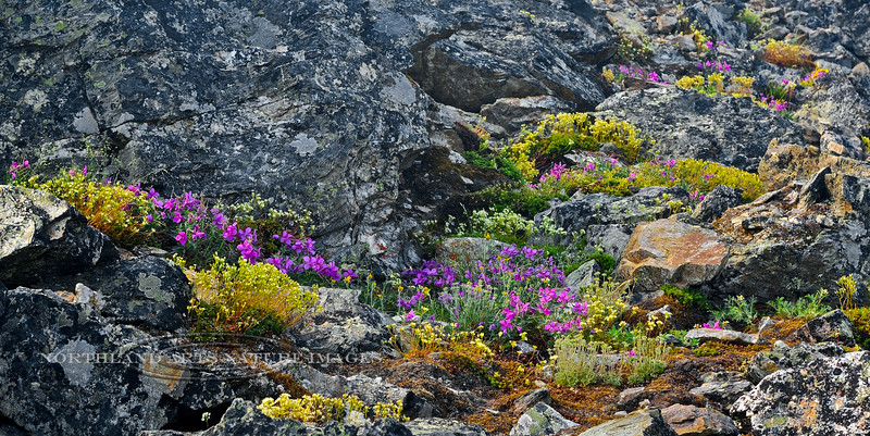 52.A natural wild rock garden of Epilobium and Saxifrage 2013.6.29#087. Mount Healy north east side, Alaska Range, Alaska.