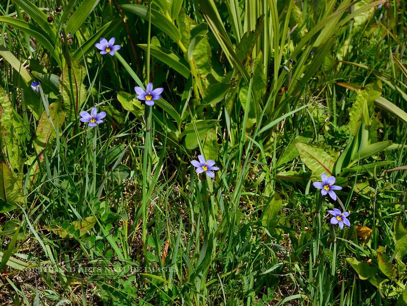 31.Sisyrinchium montanum 2014.6.20#018. Blue -eyed Grass. Turnagain Arm, Alaska.