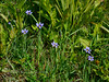 31.Sisyrinchium montanum 2014.6.20#018. Blue -eyed Grass. Turnagain Arm, Alaska.