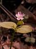 42.Claytonia montia sibirica 2000.6.4#38. The Miner's Lettuce. Nash Road, Seward, Alaska.
