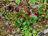 33.Salix stolonifera 2011.7.15#061. The Creeping Willow. Summit area Hatcher pass, Alaska.