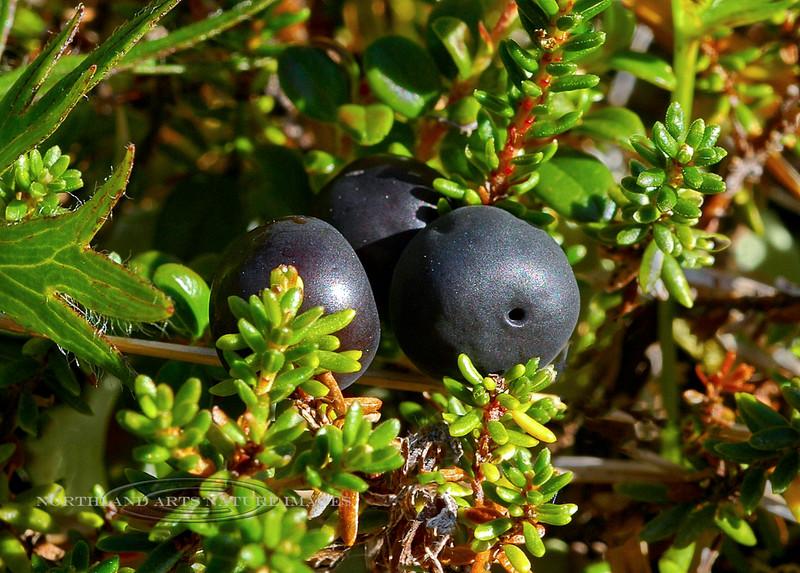 68.Empetrum nigrum 2005.8.11#0296. Crowberry. Upper Palmer Creek near Hope, Kenai Peninsula, Alaska.