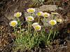 89.Erigeron compositus 2006.6.2#0079. The Alpine or Cut-leaf Daisy. Windy Point, Turnagain Arm, Alaska.
