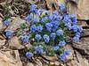 77.Eritrichium aretioides 2007.6.30#300. The Mountain forget-me not. Mount Healy's northeast side, Alaska Range, Alaska.