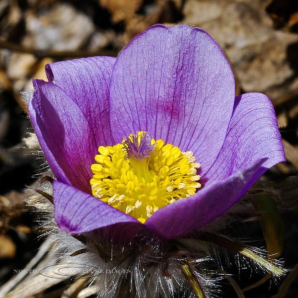 46.Pulsatilla patens 2006.5.14#0019. The Pasque Flower blooms very early. A true harbinger of spring . Near Healy, Alaska.