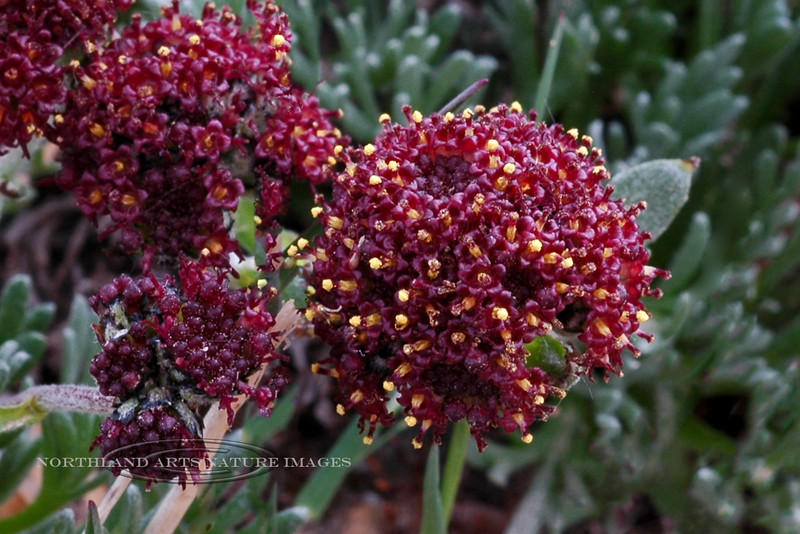 89.Artemisia globularia 2007.6.30#327. The Purple wormwood. Mount Healy's northeast side, Alaska Range, Alaska.