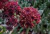 89.Artemisia globularia. The Purple wormwood. Alaska Range, Alaska. #630.327.