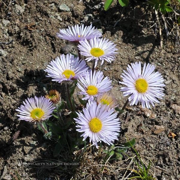 89.Erigeron grandiflorus 2007.6.14#0134. The Large Flowered Fleabane. Sheep Mountain Glenn highway, Nelchina Basin Alaska.