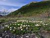 53.Dryas integrifolia 2010.6.18#008. Entire leaf Avens. Savage River, Denali Park Alaska.
