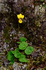 60.Viola biflora 2016.6.11#025. The Small Yellow Violet. East side Savage Canyon, Denali Park Alaska.