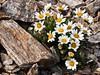 89.Chrysanthemum integrifolium 2007.6.30#251. The Arctic Daisy or Entire leaf Chrysanthemum. Mount Healy's northeast side, Alaska Range,Alaska.