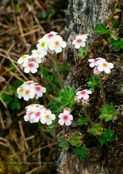 71.Androsace chamaejasme 2006.6.21#0224. The Rock Jasmine is like a signature plant of tundra plateaus and alpine slopes. Savage Canyon east side, Denali Park Alaska.