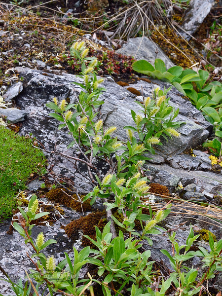 33.Salix niphoclada 2014.6.24#154. The Barren Ground willow with male catkins. Alaska Range, Alaska.