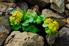52.Chrysosplenium wrightii 2008.6.29#044. Thoro Ridge, Denali Park Alaska.