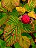 53.Rubus idaeus 2010.7.27#002. Raspberry is a shrub whose canes grow to 4 feet tall or more. It bears a delicious red fruit. Rainbow Trail, Turnagain Arm, Alaska.