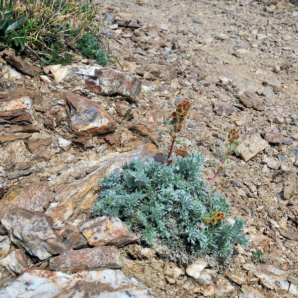 89.Artemisia furcata 2010.6.19#081. The Forked Wormwood. Mount Healy's northeast side, Alaska.