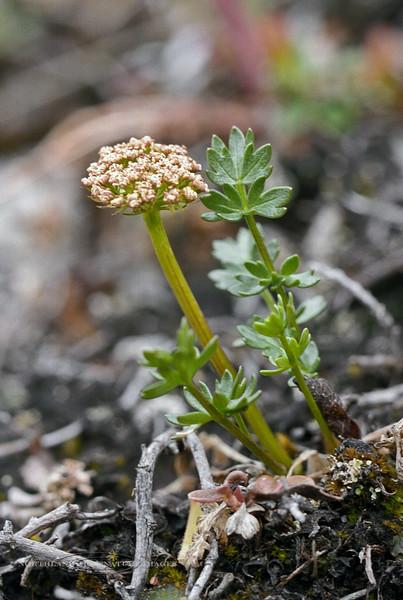 65.Ligusticum mutellinoides 1999.6.22#0052. The Alpine Lovage. Primrose Ridge, Denali Park, Alaska. Scanned from old film stock.