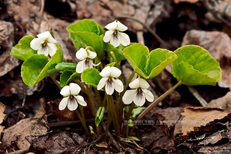 60.Viola renifolia 2000.4.26#7. The Wood Violet. near Beluga point Turnagain Arm, Alaska. A scan from old film stock.